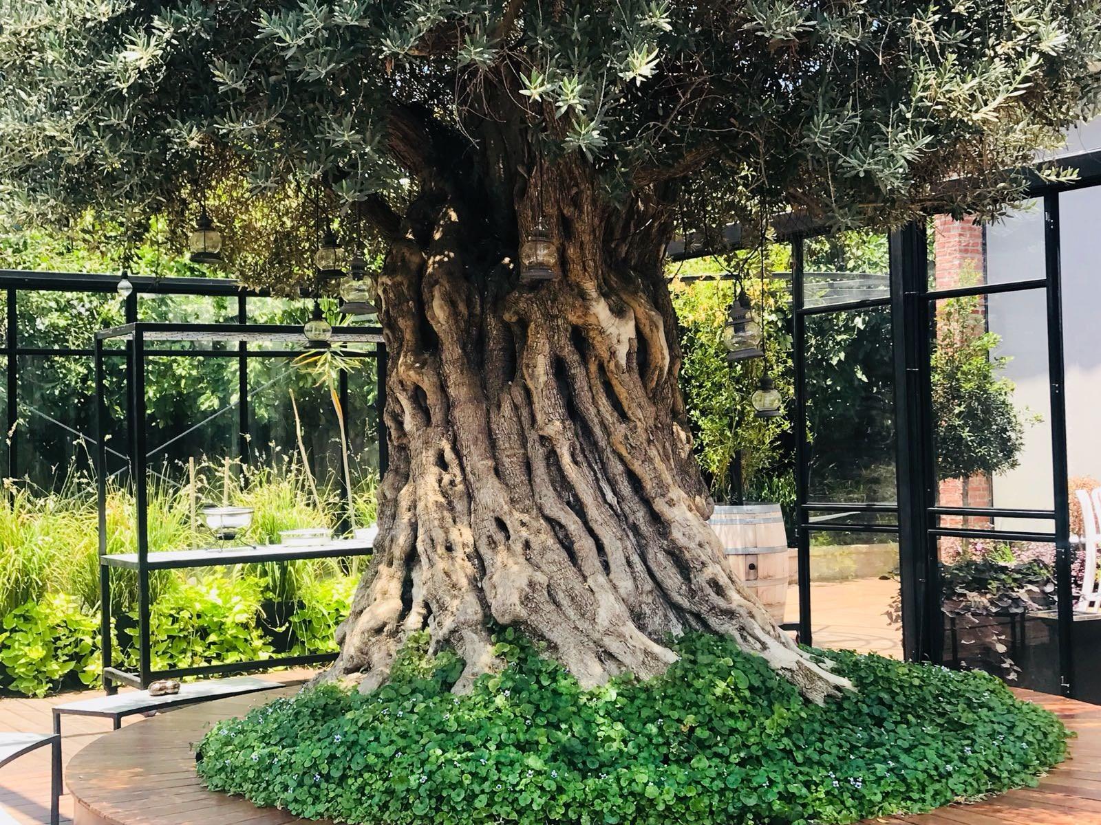 עץ זית עתיק בלב החלל (צילום: באדיבות ארקה)